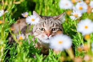 gato camomila