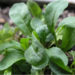 Como plantar Rúcula (Eruca sativa Mill)
