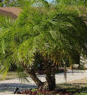 palmeira resistente ao vento