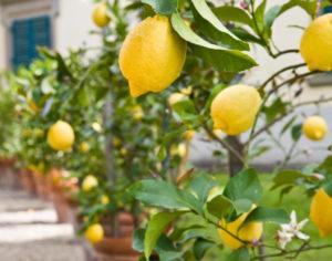 Frutíferas em vasos, como fazer o pomar na varanda ou no terraço