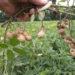 Amendoim: como plantar e colher em casa ou no sítio