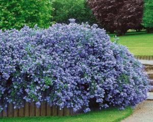 Como plantar o Lilás da California ou Ceanotus