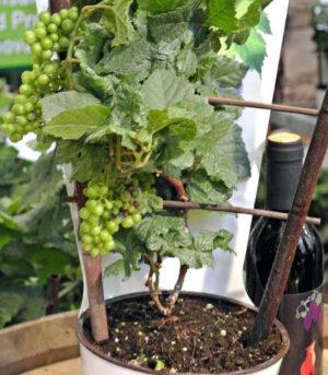 plantar uva em vasos