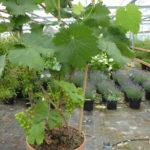Como plantar uma videira em vasos e colher uvas