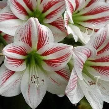 Flor de amaryllis