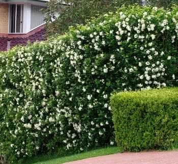 murta de jardim