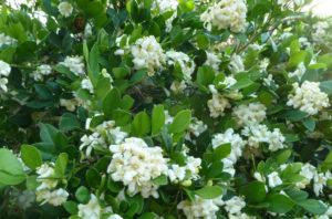 Como plantar a murta-de-cheiro (murraya paniculata)