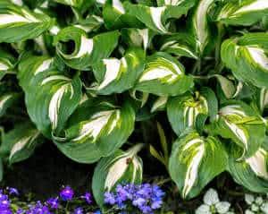 planta variegada