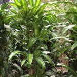Como plantar o Pau d'água – dracena fragrans