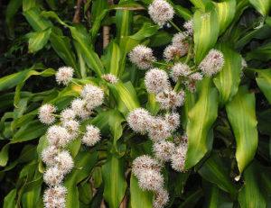 flor da dracena fragrans
