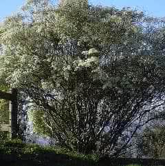 arbusto neve-da-montanha ou cabeleira-de-velho