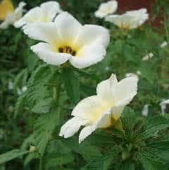 chanana - flor do guaruja