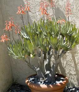 plantas para a piscina - suculentas
