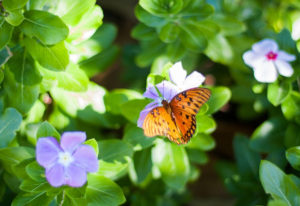 Plantas que chamam borboletas