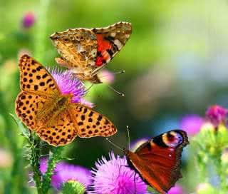 como atrair borboletas