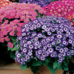 Como cultivar a Cineraria-dos-Floristas (Senecio cruentus)