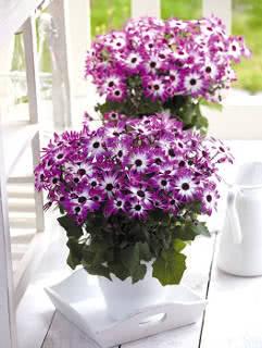 cineraria-dos-floristas