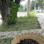 Árvores com frutos que mancham os pisos e os caminhos