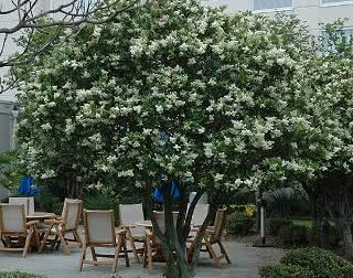 Ligustrum - árvore com frutos que mancham