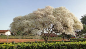 Como plantar a neve-da-montanha (Euphorbia Leucocephala)