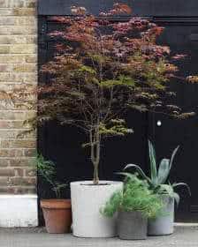arbusto de folhas vermelhas que fica bem em vasos grandes