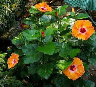 jardim florido com hibiscos