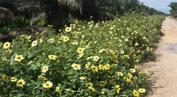 Flor-do-Guaruja ou Chanana – Turnera Subulata