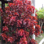 Como plantar a acalifa (acalypha wilkesiana)