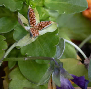 sementes de amor-perfeito