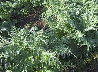 cultivo de cynara scolymus