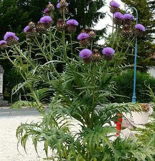 alcachofra planta e flor