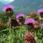 Como plantar a Alcachofra (Cynara scolymus)