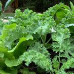 Horta orgânica caseira para o consumo pessoal : o que plantar