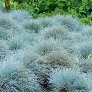 grama azul como cobertura