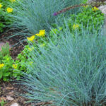 Como plantar a grama azul – festuca glauca