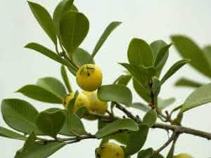 frutíferas pé de araçá