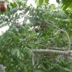 Frutíferas do Norte e Nordeste – para comer a fruta do pé