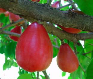 Frutíferas do Nordeste