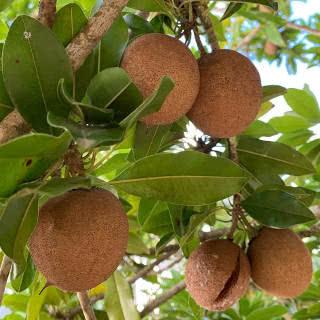 sapoti (manilkara achras)