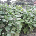 Batata Yacon: Como plantar e fazer a colheita