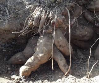 colheita da batata yacon