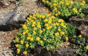 Como plantar o helianthemum