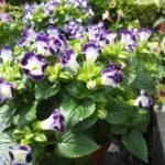 Torênia ou Amor-perfeito-de-verão(Torenia fournieri Linden)