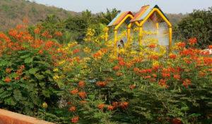Como plantar o Flamboyanzinho – Caesalpina Pulcherrima